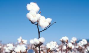 cotton_3